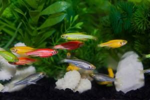 akvariumnye-rybki-danio.jpg