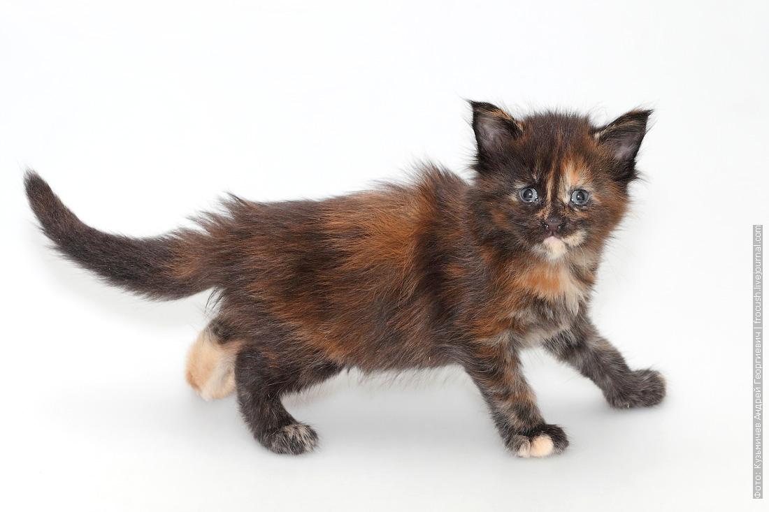 месячный котенок мейн-кун