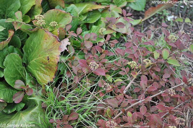 Viburnum plicatum Roseum.JPG
