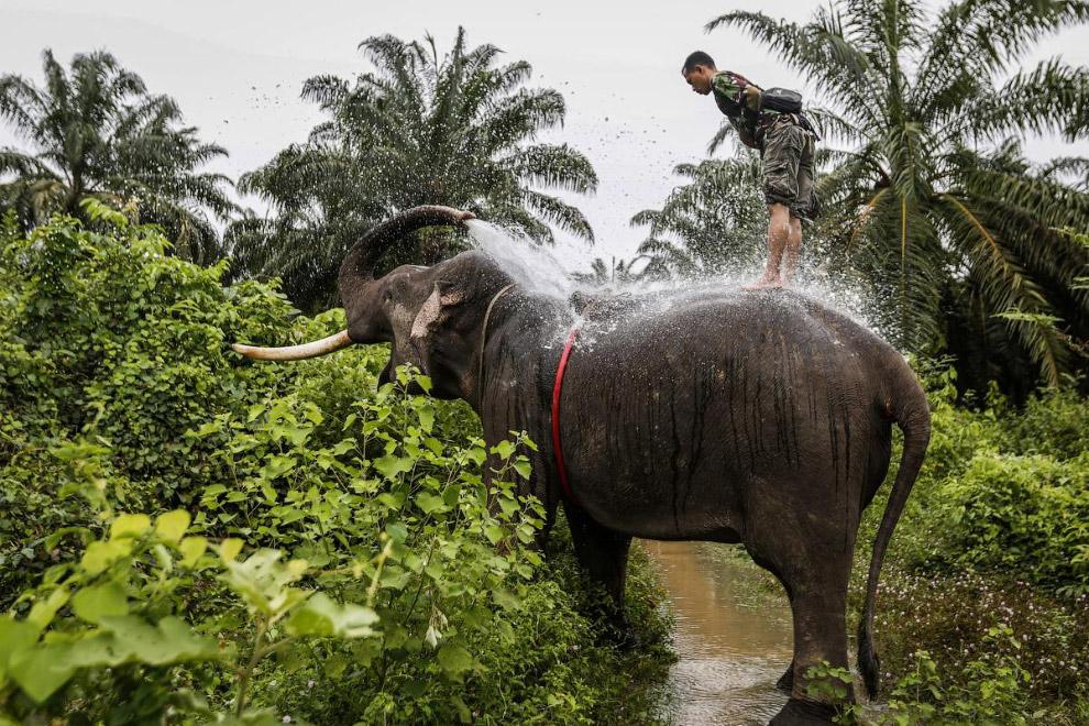 19. Работник пальмовой плантации в Индонезии везет урожай. (Фото Hotli Sumanjuntak):