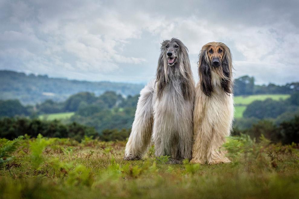 5. Первое место в категории «Старичкки», тут участвуют собаки в возрасте. (Фото Kevin Smith):<b