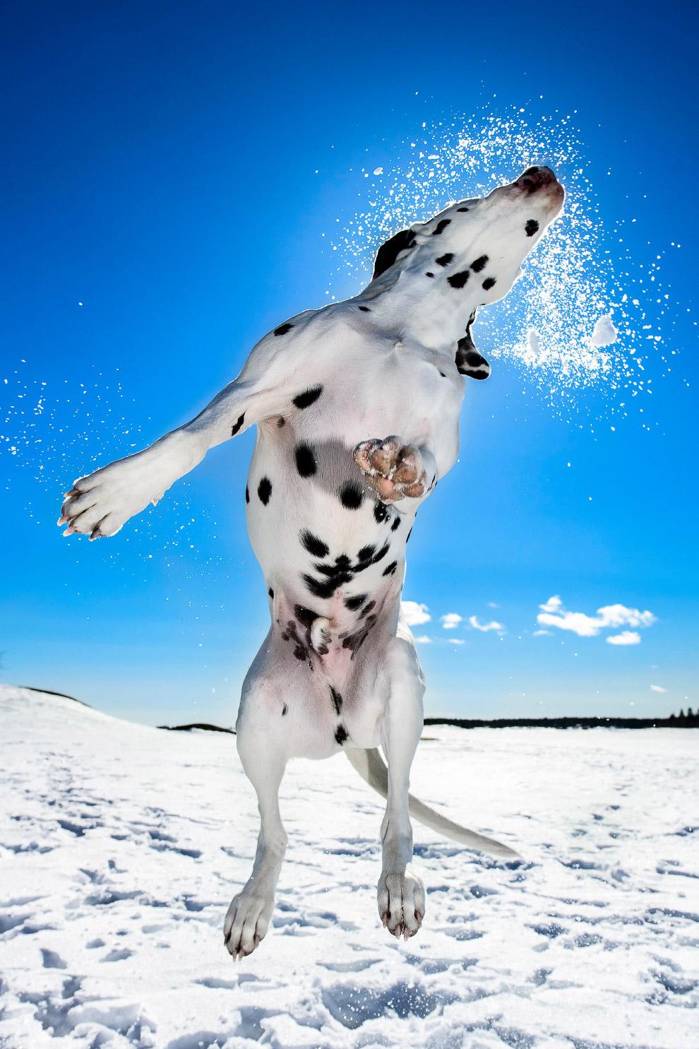 12. Эффектный выход из озера «потянул» на первое место в категории «Собачьи игры». (Фото Tom Lo