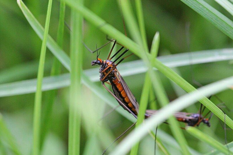 Копуляция двух комаров-долгоножек (карамор) из рода Nephrotoma на травинке. Крупные чёрные комары с оранжевыми полосами по бокам брюшка и узором на спинке. Лапы красно-чёрные с плавным переходом.