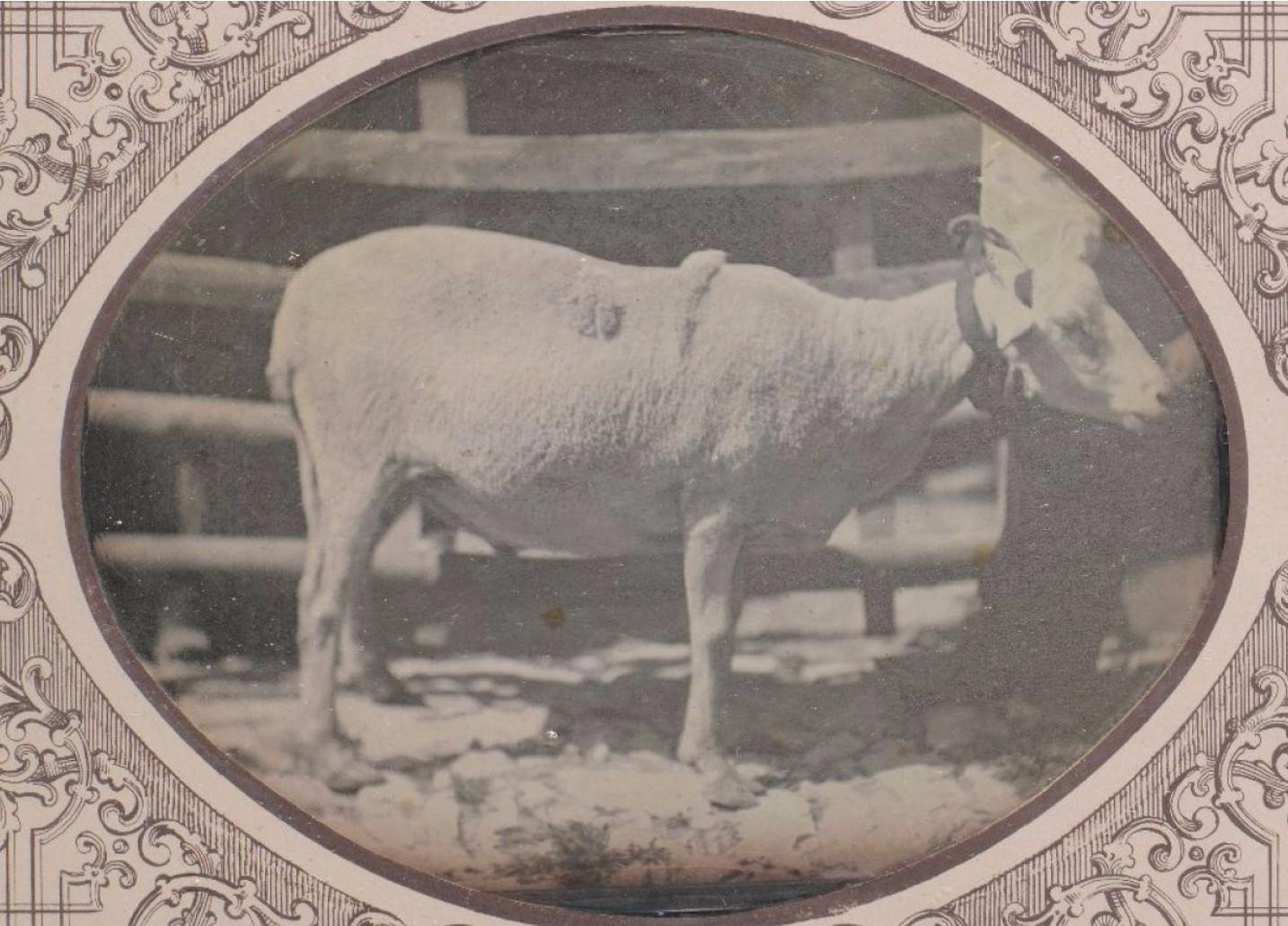 1845. Овцы Кос дю Ларзака