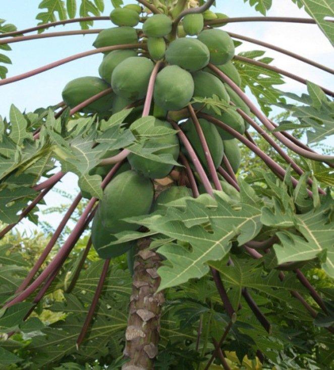 6. Папайя (Papaya) Эти фрукты считаются самыми крупными в мире дынями, а отличительной их особенност