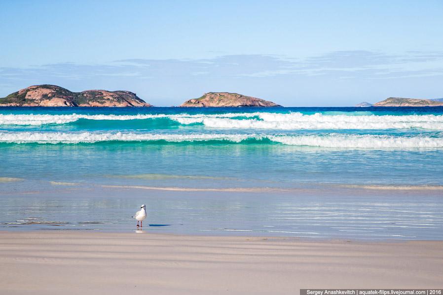 9. Но главная фишка этого пляжа — кенгуру, которые приходят сюда, когда поваляться на пляже и п