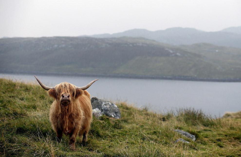 6. И снова Нидерланды, а это значит здесь живут коровы-спринтеры, носящиеся по полям галопом. (