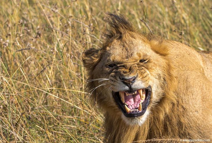 2. Гепарды не могут похвастаться самым сильным прикусом, но невероятно острые клыки и резцы не остав