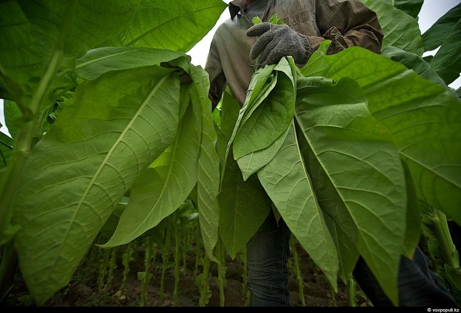 5. Невыгодно убирать листья в недозрелом или совсем зеленом состоянии, так как они долго сохнут и сы