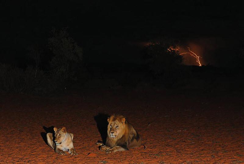 9. Львы лежат на фоне бьющей в небе молнии . (HANNES LOCHNER / BARCROFT MEDIA)
