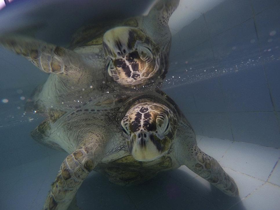 Эта зеленая морская черепаха относится к вымирающим видам. Рептилия много лет живет в зоопарке в про