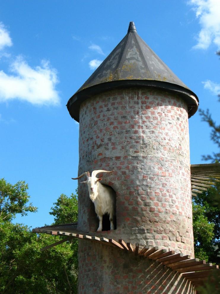 2. К сожалению, на ферме Бэка более 600 коз.