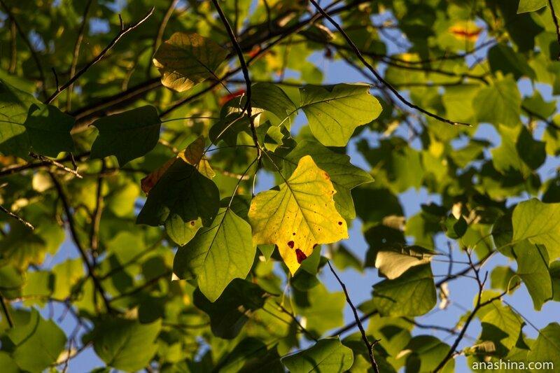 Листья, немного напоминающие клен