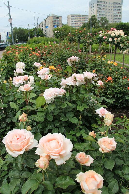 Приглашаем на цветение! Розы Fryer в нашем цветнике на Широкой, 27