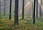 Утро в сосновом лесу.