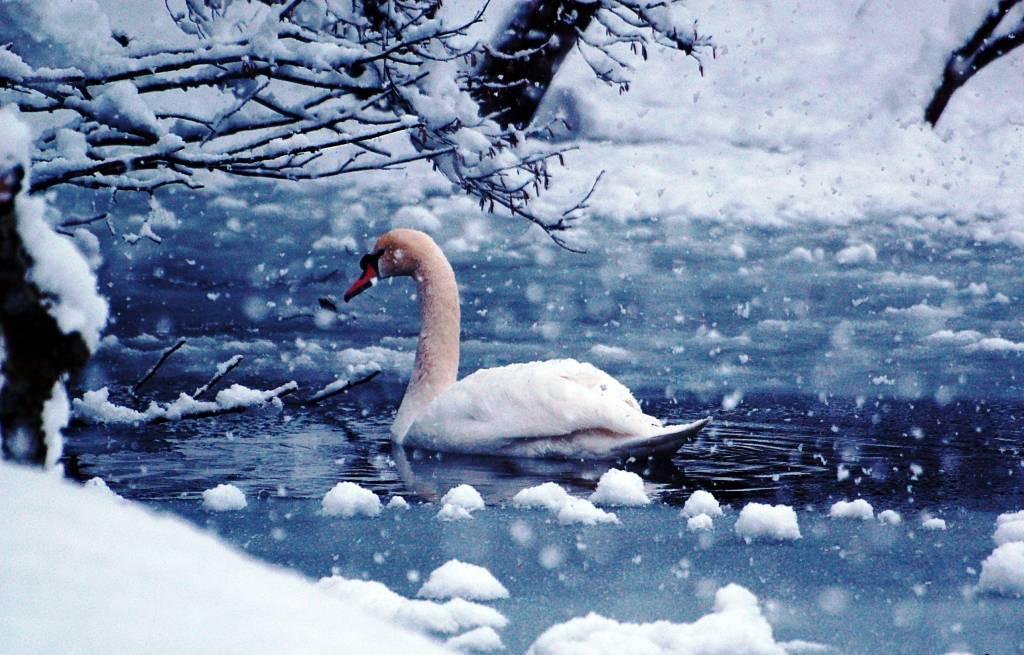 лебедь+первый снег.jpg