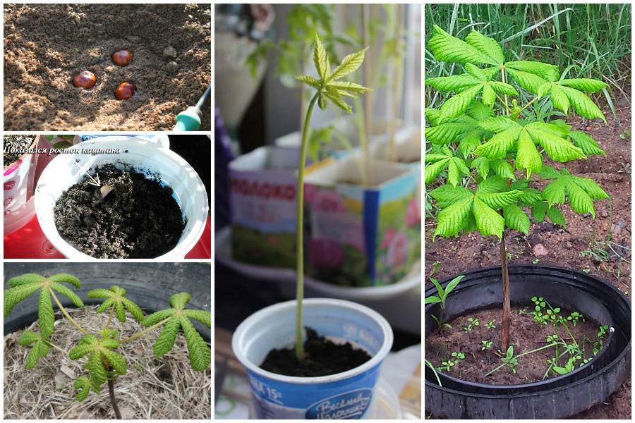 Как можно посадить каштан