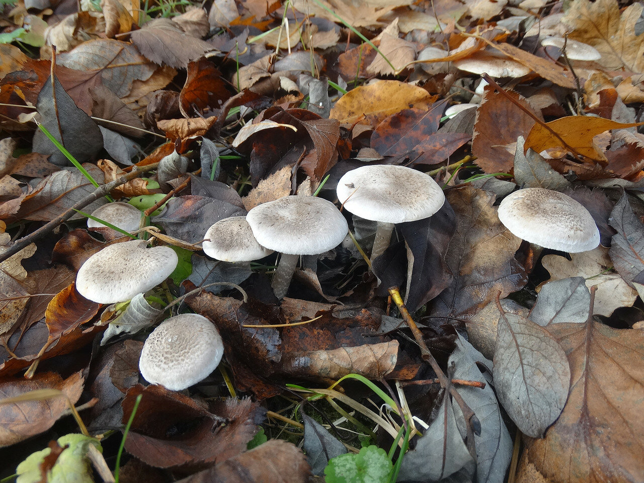 Рядовка опоясанная Tricholoma cingulatum). Автор фото: Привалова Марина