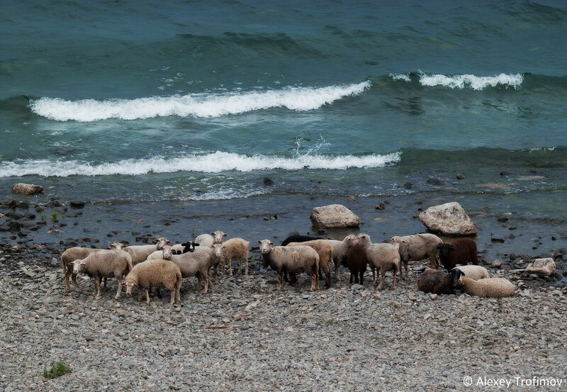 Baikal_2016_Sheeps.jpg