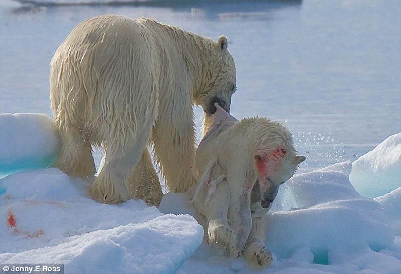 Полярный медведь-каннибал (8 фото)
