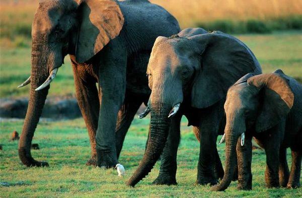 Если раньше люди безнаказанно охотились на этих удивительных животных, то теперь слоны готовы п