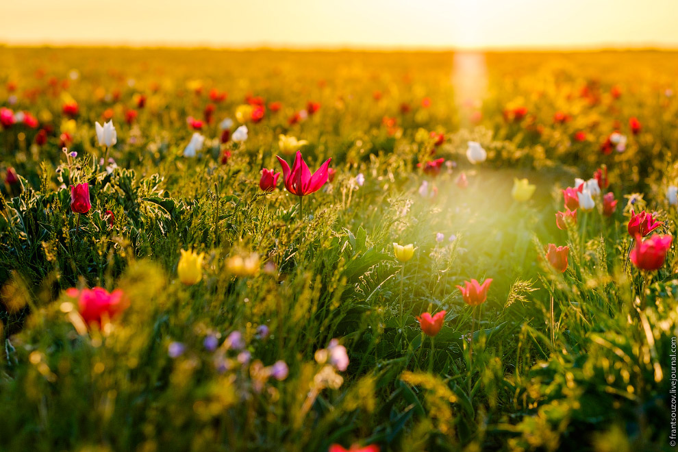 9. Тюльпаны попадались разных цветов и их комбинаций, а я неспешно прогуливался по полю, старая