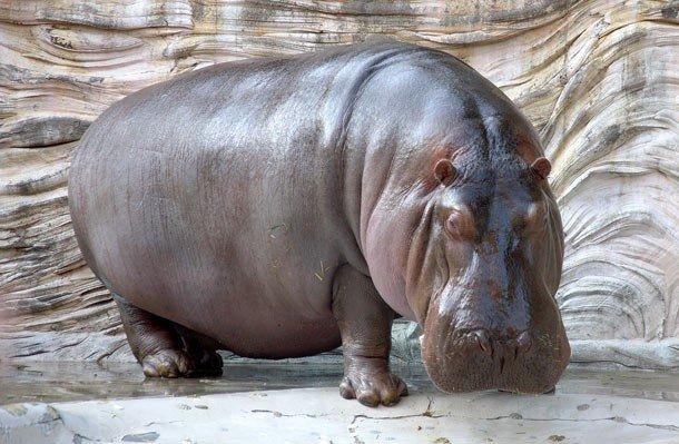22. 4 место – Гиппопотам, PSI: 1821 У этих огромных животных очень сильные челюстные мышцы, а их уку