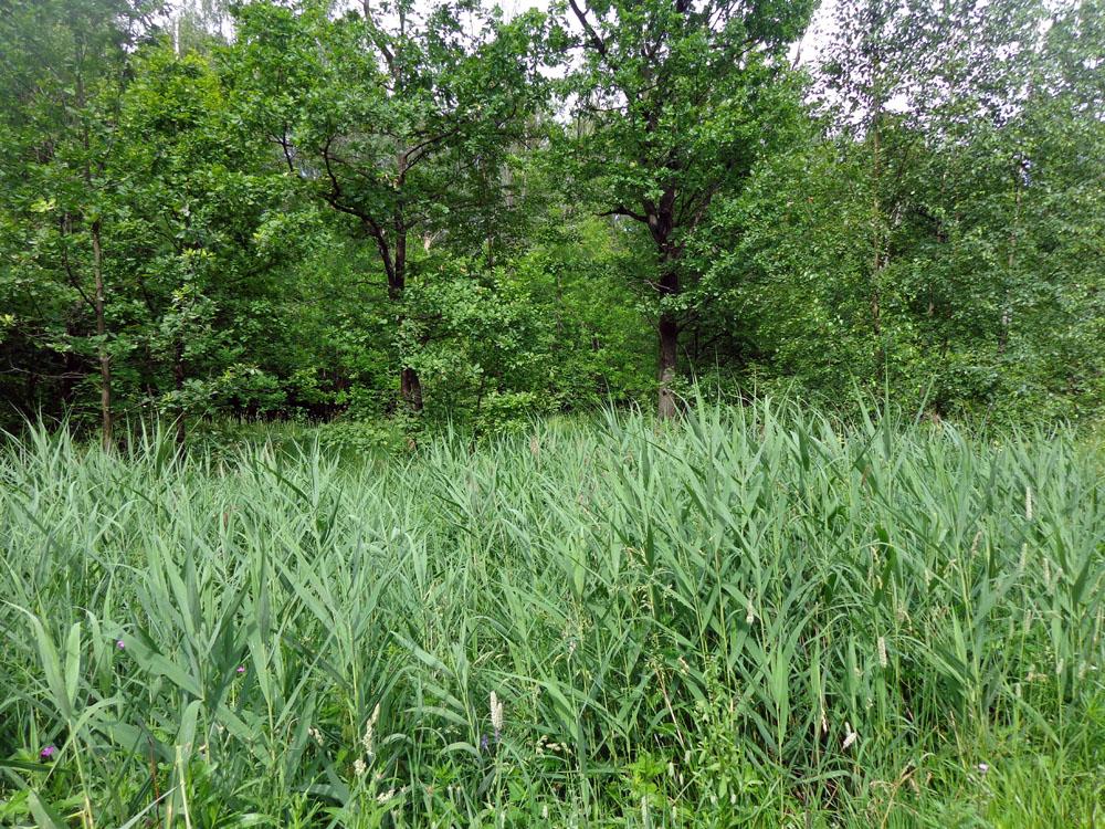 Тростни́к обыкнове́нный, или тростник ю́жный (лат. Phrágmites austrális)