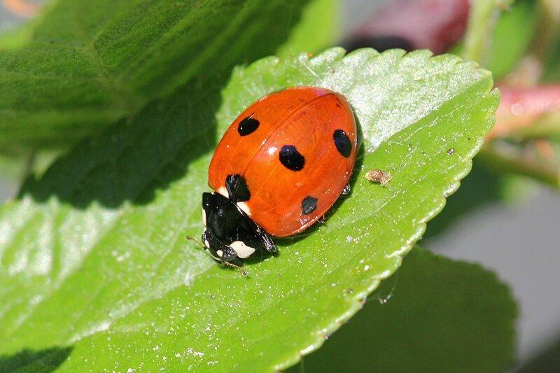 Семиточечная божья коровка (Coccinella septempunctata) жук с красным панцирем, белыми пятнами на голове и груди и 7 черными точками.