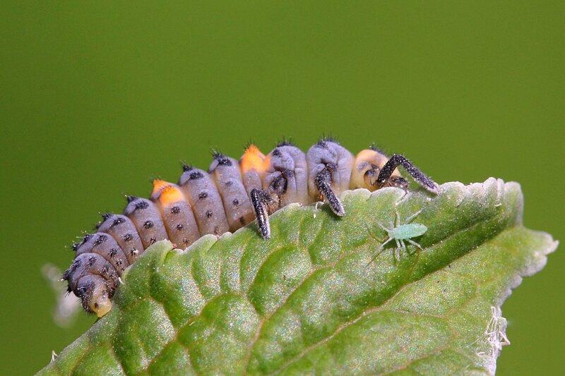 Тёмно-фиолетовая с рыжими пятнами личинка семиточечной божьей коровки (Coccinella septempunctata) на листке и тля - основная её пища
