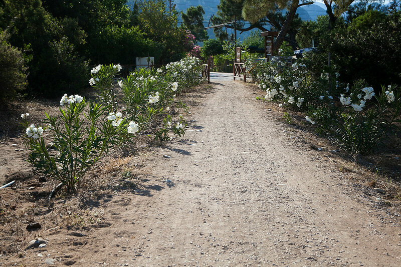 oleanders grow on the edges of the track leading to the resort