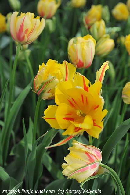 Tulipa Frejus.JPG