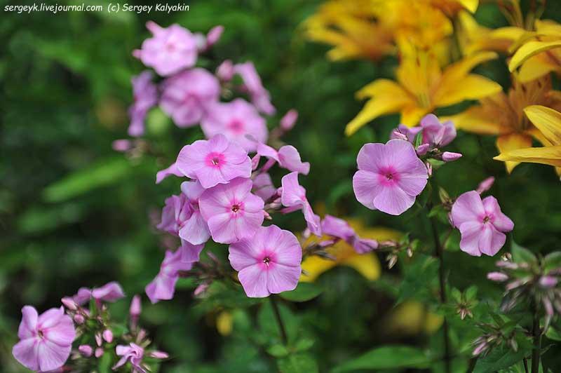 Phlox paniculata Miss Olga.JPG