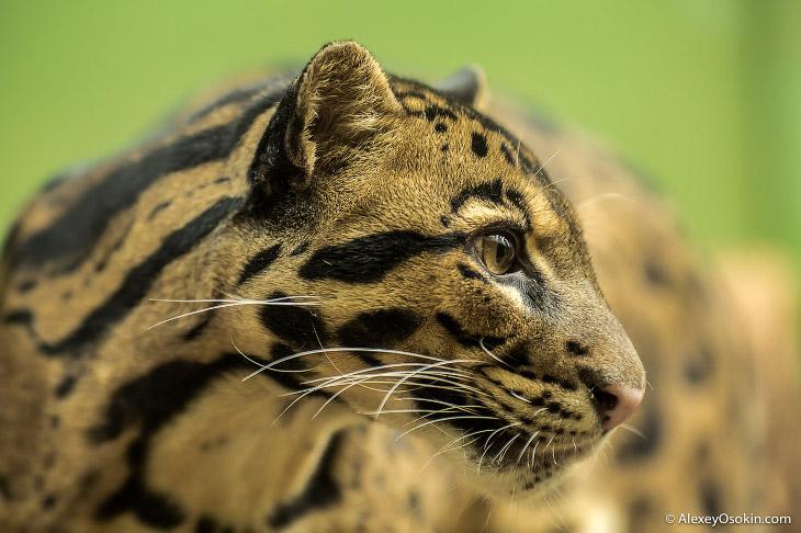Фотографии и текст Alexey Osokin   Вообще, дымчатый леопард не является прямым родственником