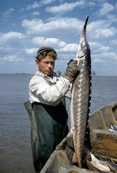 К середине 60-х годов популяция осетровых стабилизировалась. А Астраханскому рыбокомбинату не остава