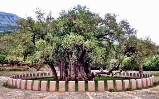 Большинство оливковых деревьев прекрасны, но не все достойны того, чтобы стать знаменитыми! Это дере