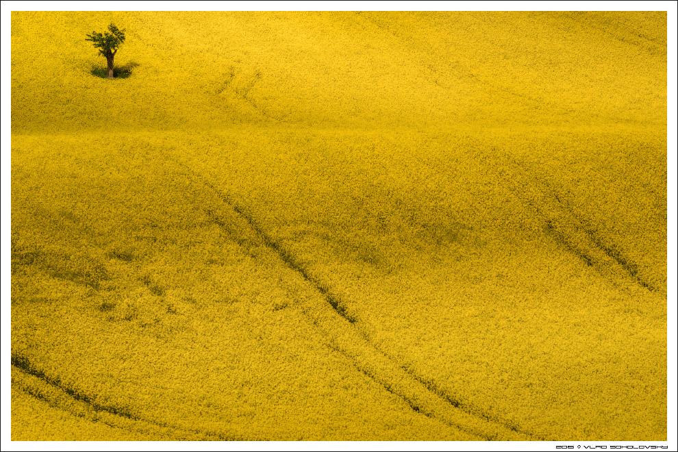 31. В этом году все растет с точностью до наоборот: снизу зеленая трава, а сверху — рапс (это п