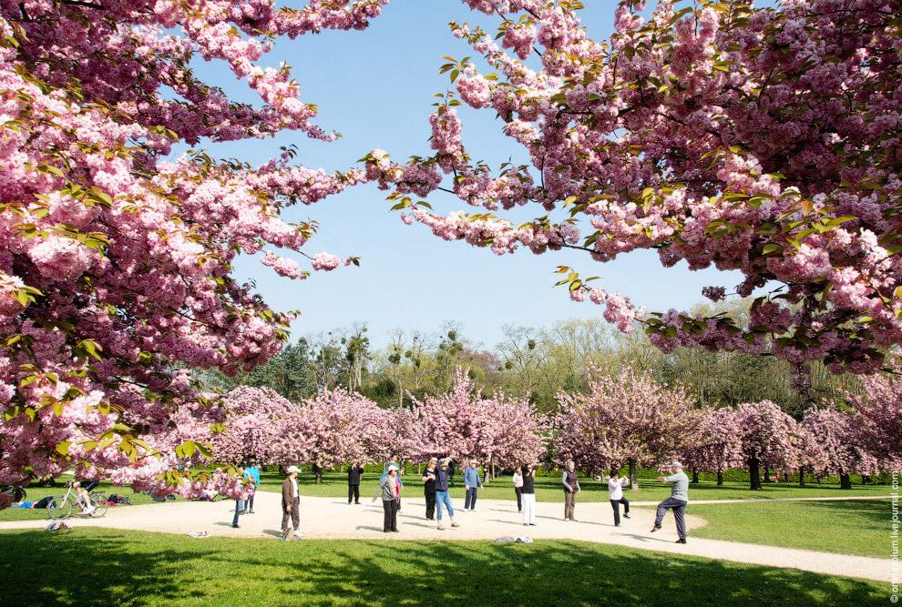 Многовековая традиция пикников под цветущими деревьями началась с цветущей сливы умэ, но со вре