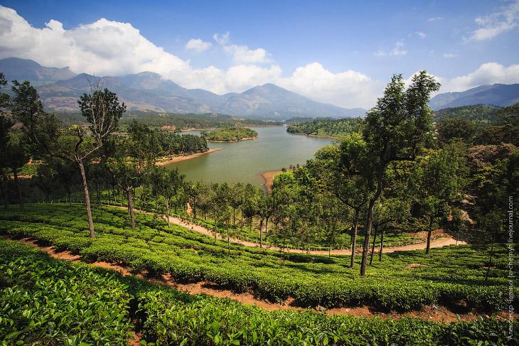 Деревья на плантациях — это те же чайные кусты, специально оставленные для создания тени. Да, вы пра