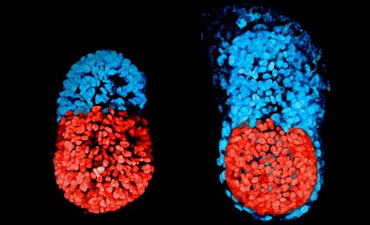Ученые впервый раз создали искусственный эмбрион