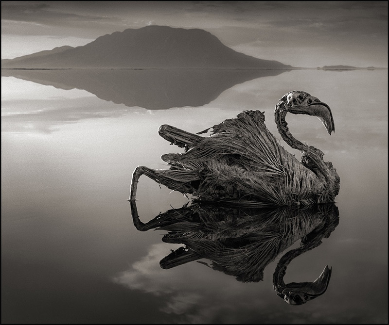 Calcified Flamingo, Lake Natron, 2012
