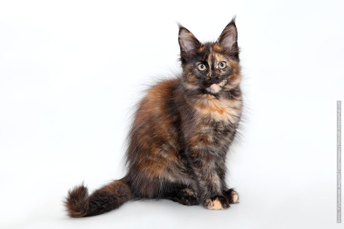 черепашка котенок мейн кун