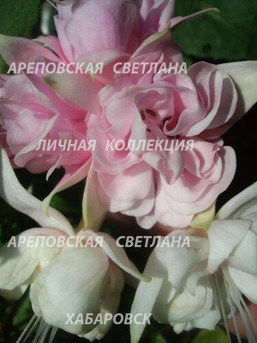 НОВИНКИ ФУКСИЙ. - Страница 5 0_15910e_4dc62d1e_L