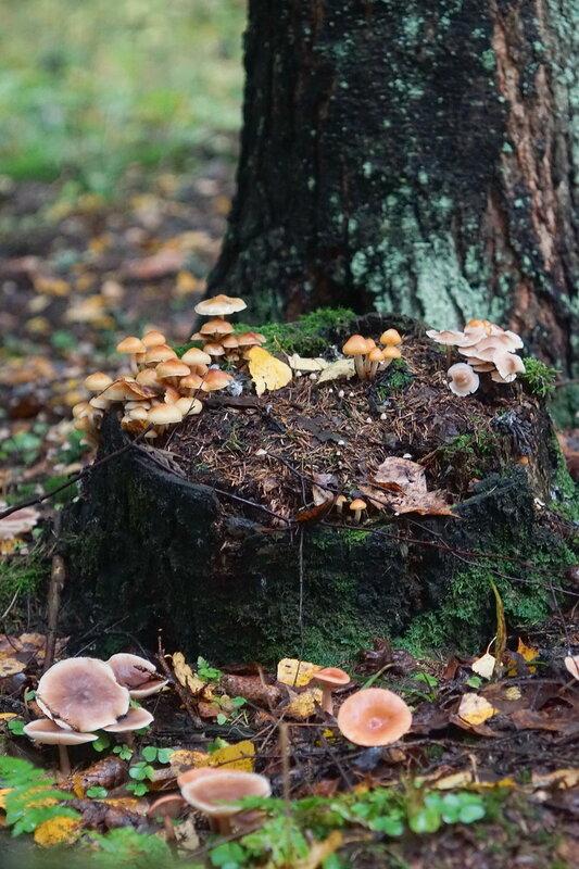 гриб сентябрюшка
