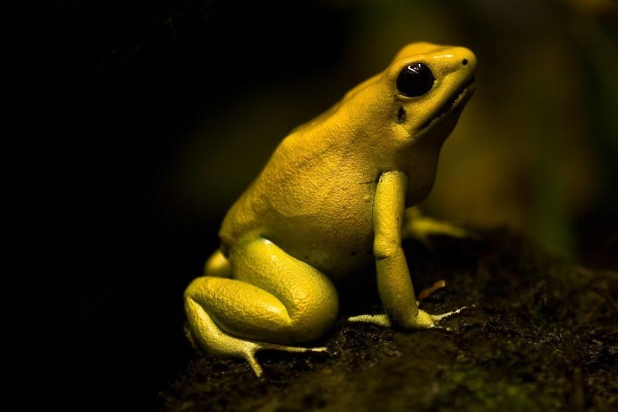 1. Ужасный листолаз Листолазами называются лягушки, узнать которых можно по яркому цвету, который мо