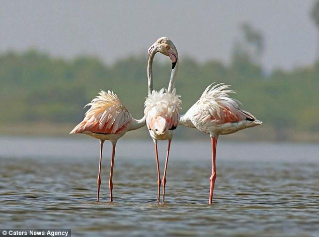 Три тела, две головы, пять лап. Вопрос: сколько здесь фламинго?