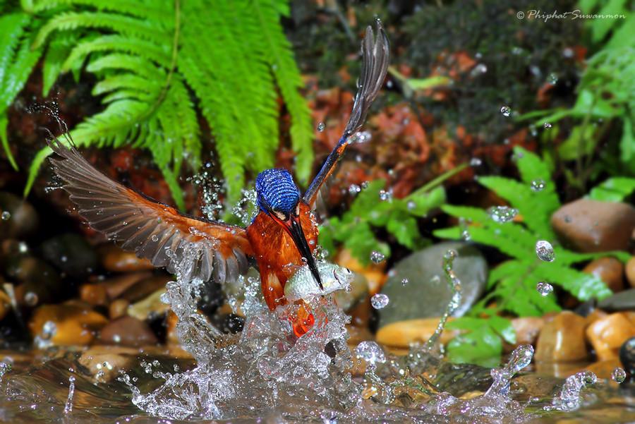 Рыбалка голубого зимородка (11 фото)