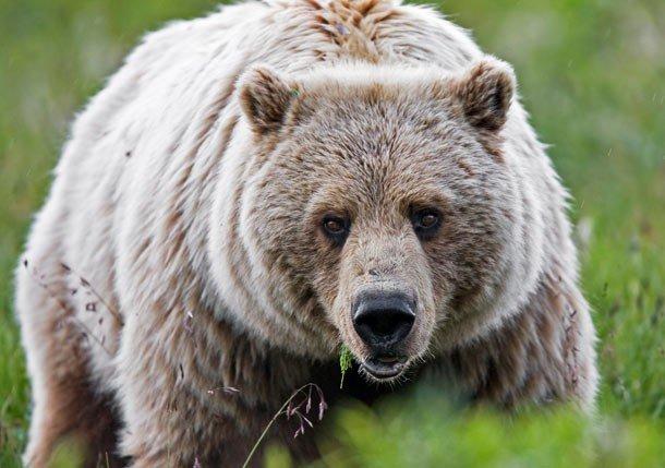19. 7 место – Медведь гризли, PSI: 1250 Эти величественные животные обладают очень крепкими зубами.