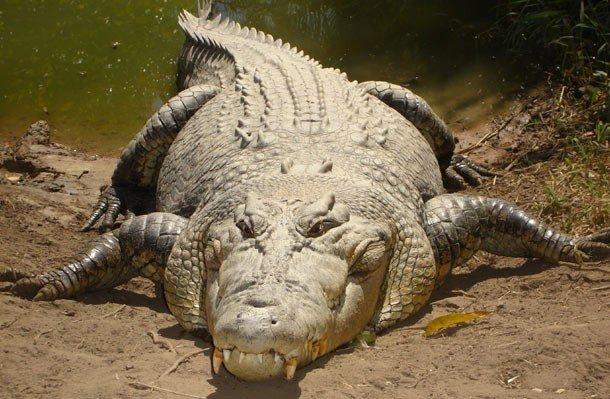 25. 1 место – Гребнистый крокодил, PSI: 7700 Гребнистый крокодил считается самой крупной рептилией,