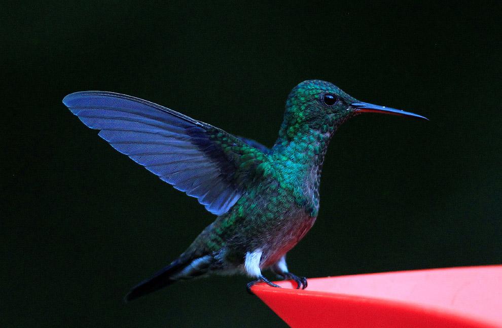 7. А еще колибри умеет летать не только вперёд, но и назад, а также вбок! Кроме колибри никто б